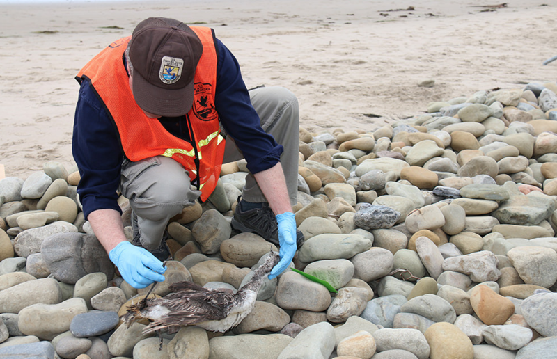 Bill Standley, U.S. Fish and Wildlife Service biologist, inspects a dead bird for signs of oil at San Buenaventura State Beach in Ventura, California on June 12, 2015.