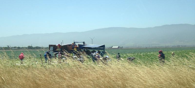 Farmworkers tend a field near Salinas.
