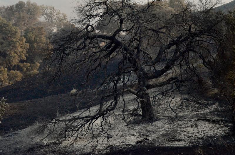 A oak tree burnt from the Whittier Fire on Sunday, near Lake Cachuma.