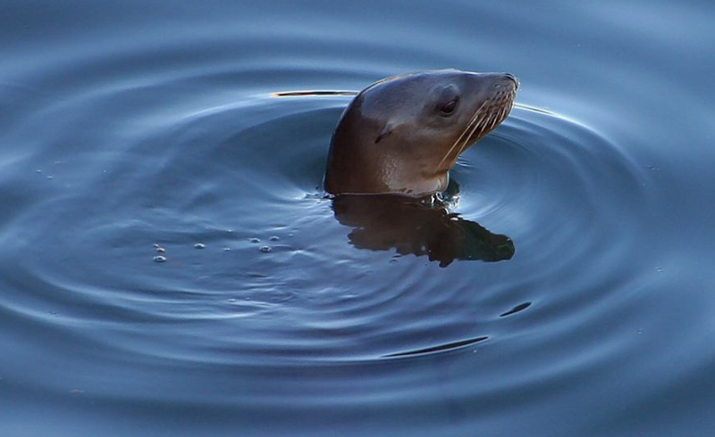 A California sea lion.