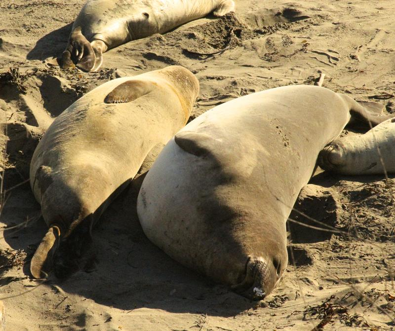Elephant Seals sleeping north of San Simeon