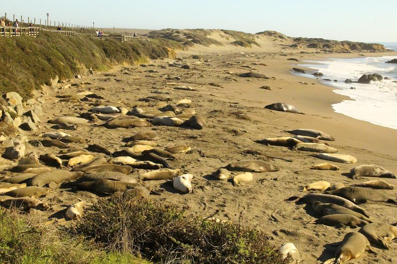 Elephant Seal mating season north of San Simeon