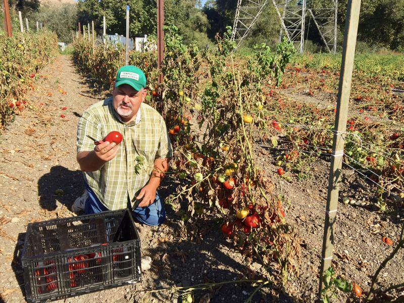 Volunteer Mark Anselmi shows off a perfect heirloom tomato that may have otherwise gone to waste if not for Glean SLO.