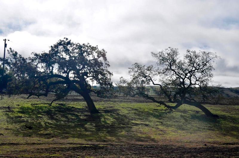 Oak trees near Santa Ynez, California.