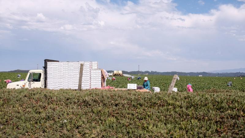Farmworkers near Castroville, CA.