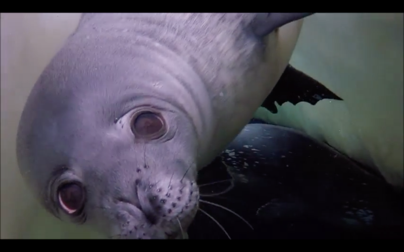 A curious Weddell seal checks out the Cal Poly visitors.