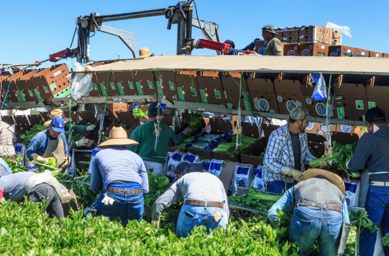 Tanimura & Antle farmworkers cut and package celery in the Salinas Valley. A new study shows there's a tremendous lack of housing for farmworkers in the Salinas and Pajaro Valleys.