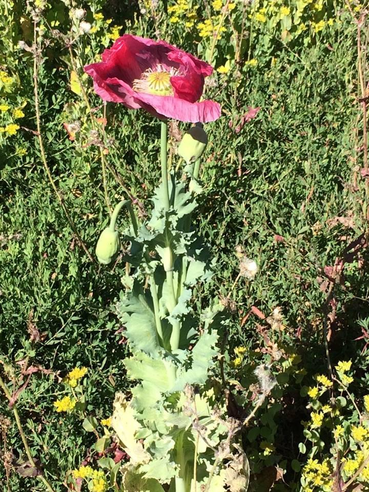 Another opium poppy field found on the central coast kcbx deputies with the santa cruz county sheriffs office removed between 400 and 500 opium poppy plants mightylinksfo