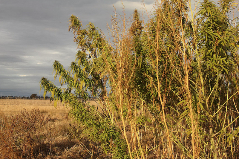 The difference between herbal cannabis and industrial hemp crops was discussed at length at the San Luis Obispo Board of Supervisers meeting Tuesday