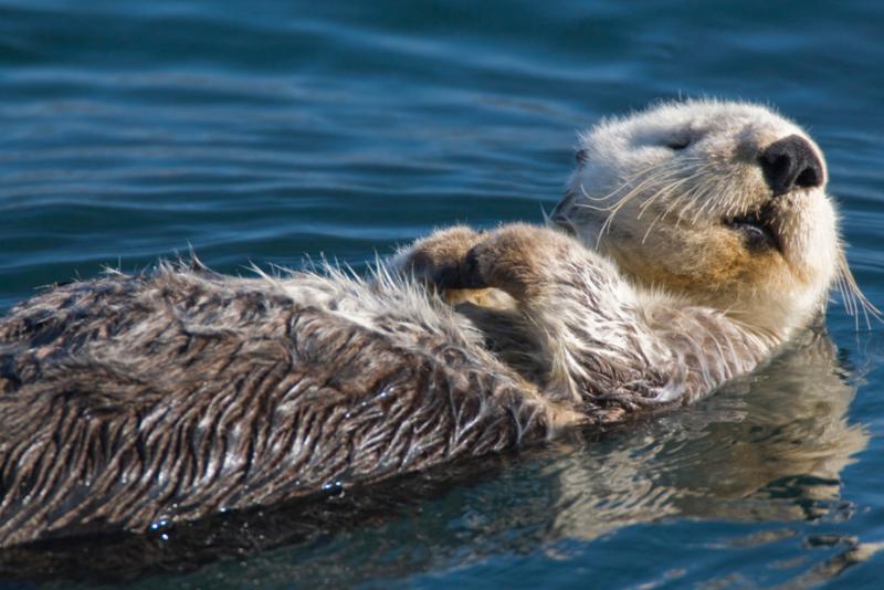 A sea otter in Morro Bay.