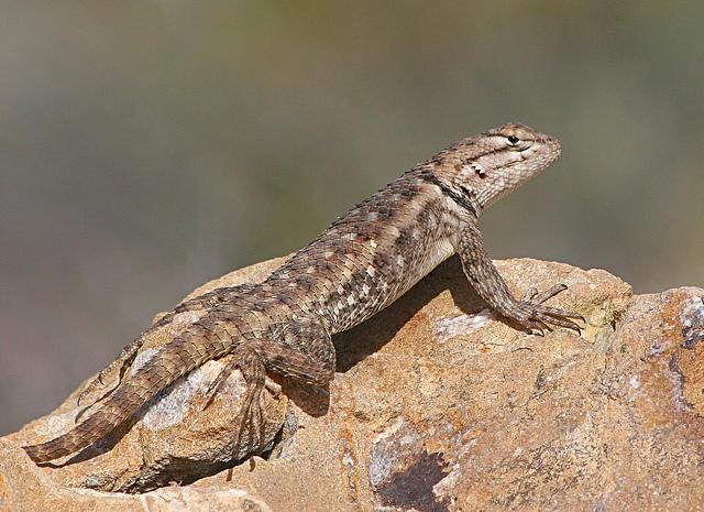 western fence lizard - Garden Lizard