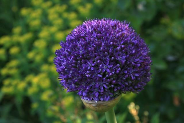 In A North State Garden: Autumnal Acts Of Faith: Planting Alliums ...