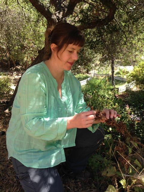 Genny Arnold selects seed from a ripe pine cone.