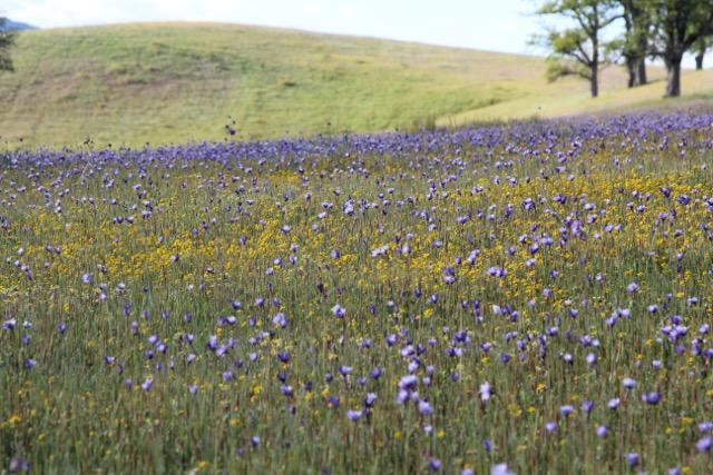 "A spring meadow in full bloom with California native ""blue dicks"" (Dichelostema capitatum) which is prolific throughout the state."