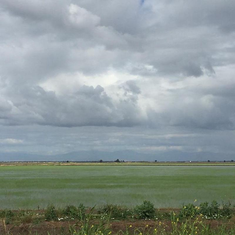 Rice country: rice paddies freshly germinated. Butte County, Calif.