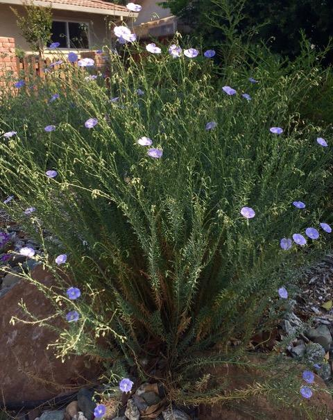 A native California flax (Linum lewisii) plant in full flower.