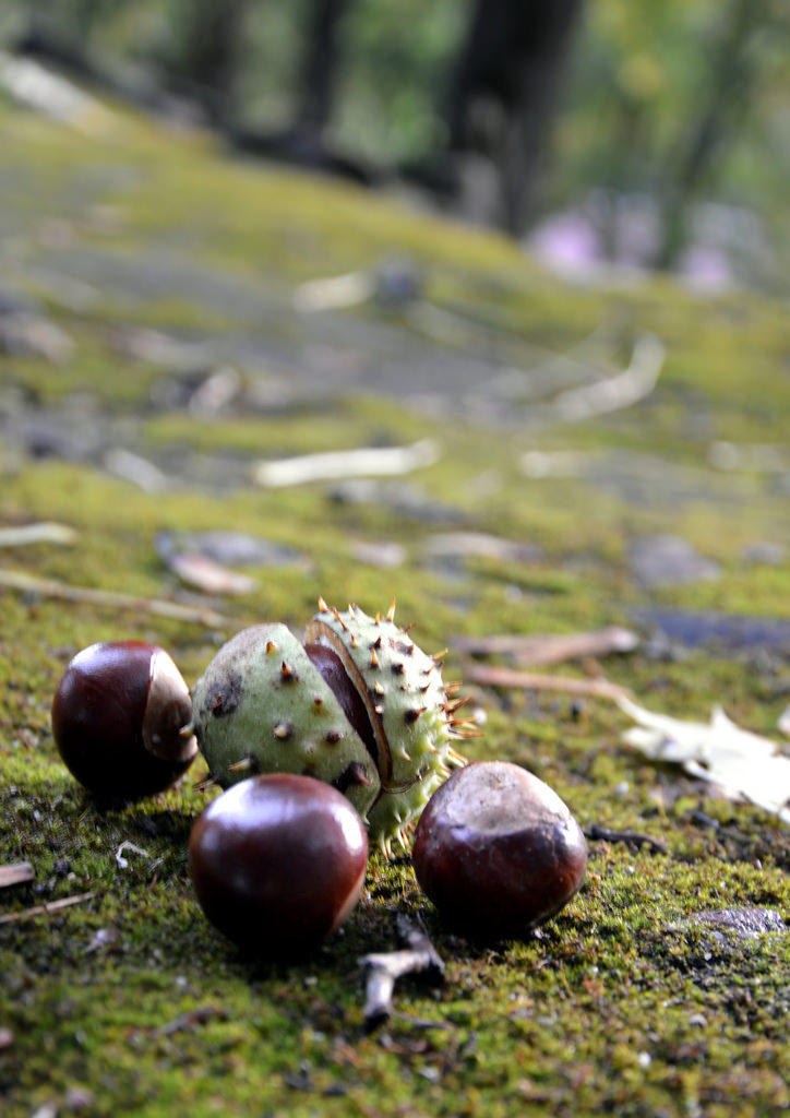 Given the local popularity of chestnuts, they may be a coming farm-to-fork crop in Butte County.