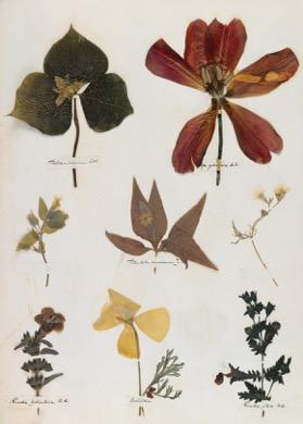 A sample page from Dickinson's herbarium.