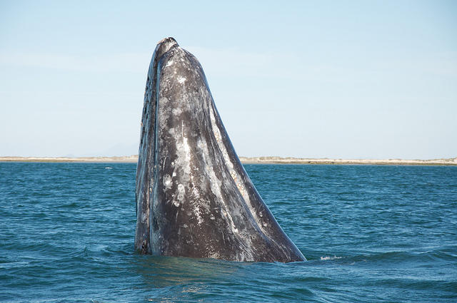 "Gray whale ""spy hopping"" (taking a look around)"