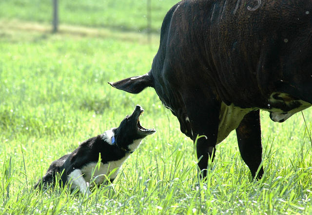 """""""I said, move it!"""": For obvious reasons, cattle dogs need confidence-and need to be convincing."""