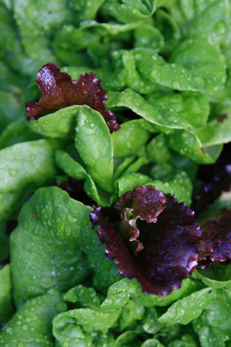 Young spring lettuce mix