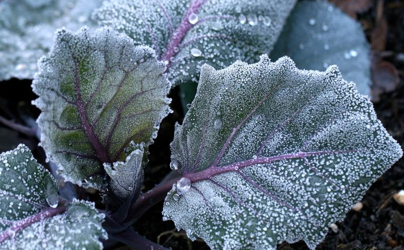 frost on Russian Red Kale (see from Redwood Seeds