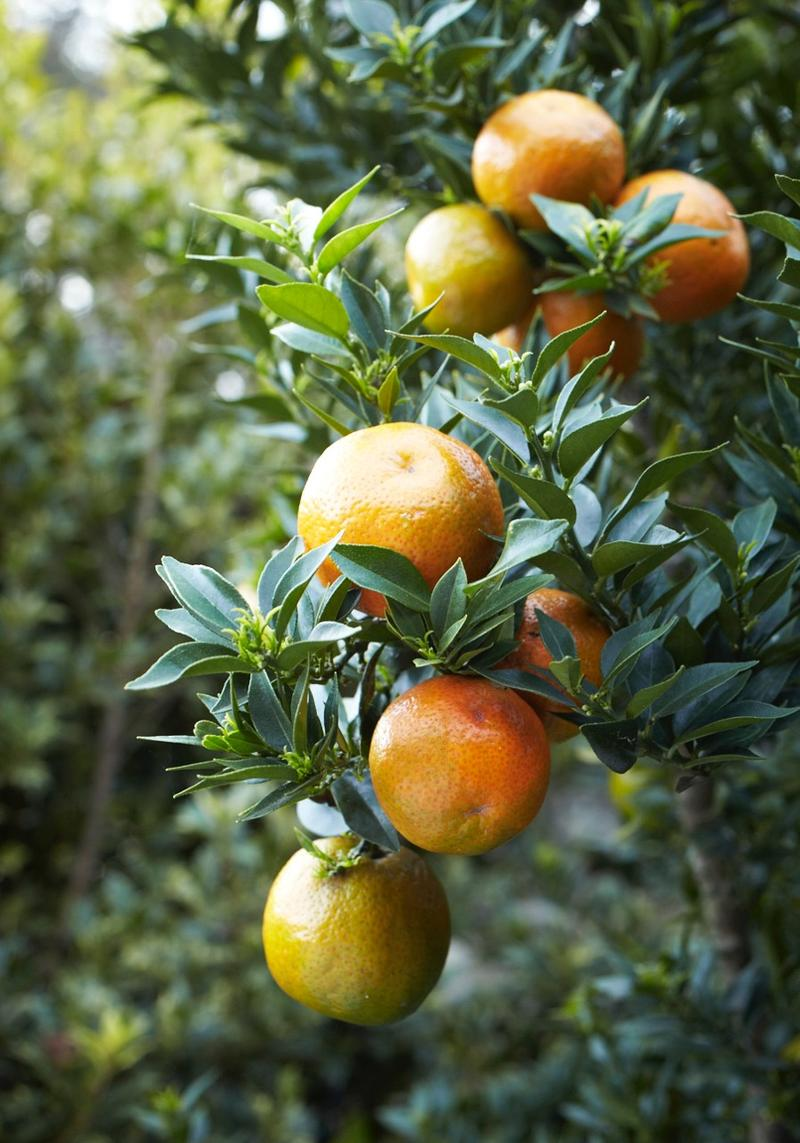 The sour orange on which the aperatif Campari in based, which Stefani Bittner loves as an edible ornamental in her garden. A great tree for container growing and overwintering inside.