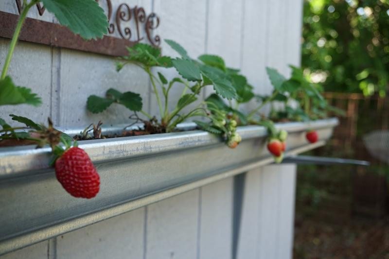 Elevated Strawberry Gutter Garden