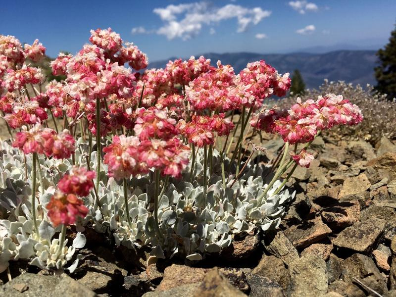 A flashy pink low growing native Eriogonum species thrives on a hot summer afternoon above tree line in the Yolla Bolly Wilderness of Northern California.