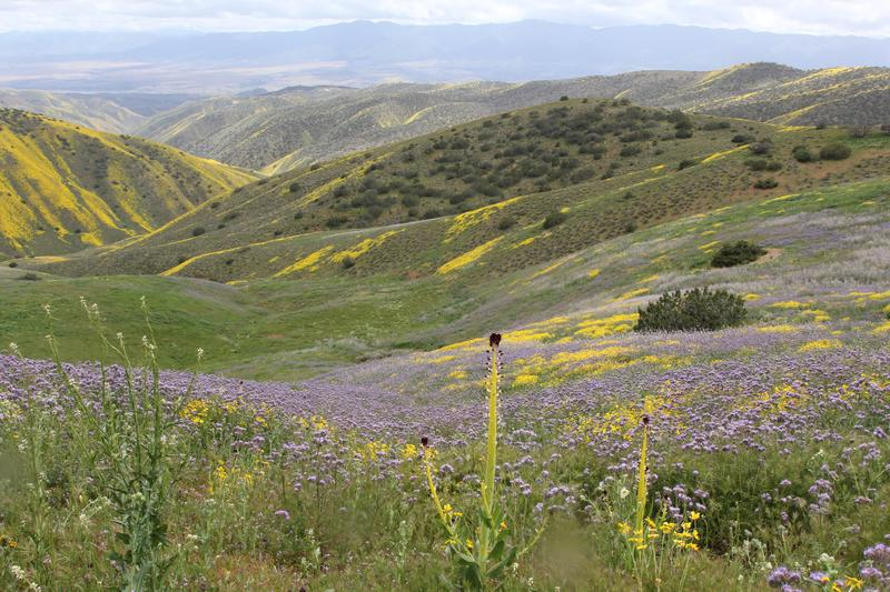 One of the many protected, and under pressure, landscapes of our land the Carrizo Plain National Monument, in spring bloom 2017.