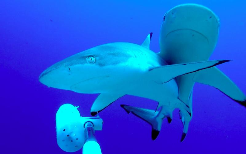 Reef sharks on Palmyra atoll inspect the baited remote underwater video system set up by researchers