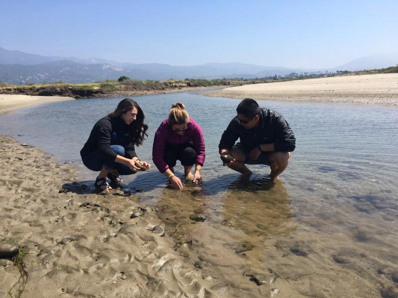 UCSB grad students Emily Read, Erin Winslow and Desmond Ho search for native oysters in the Carpinteria Salt Marsh Reserve