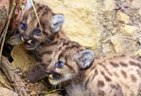 New Mountain Lion Cubs P-59 and P-60 In Santa Monica Mountains National Recreation Area