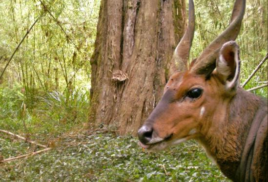 Ticks are visible on the forehead of this bushbuck, a sub-Saharan antelope.