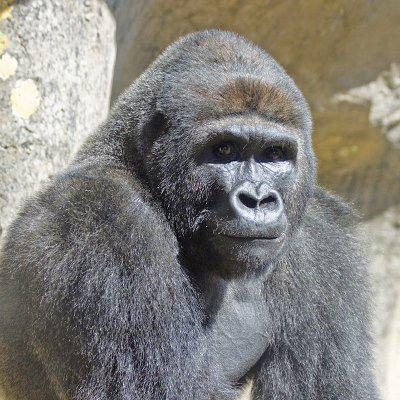 Nzinga is one of two gorillas living at the Santa Barbara Zoo as part of international efforts to save them from extinction