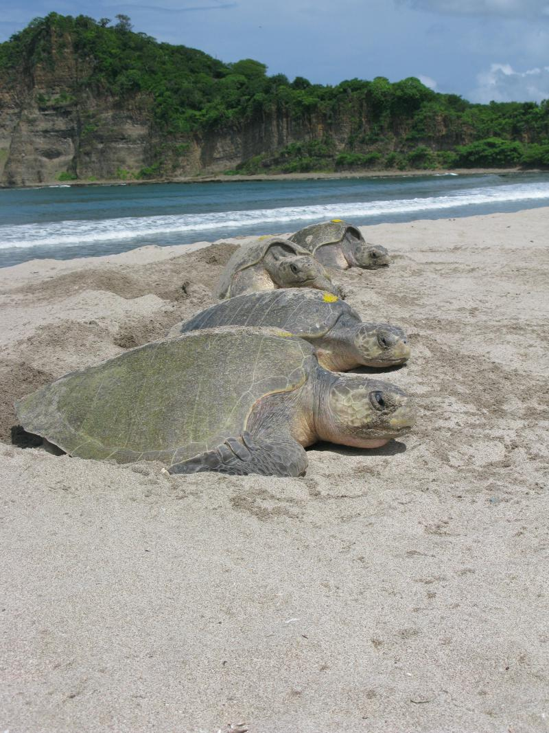 Nesting sea turtles in Central America