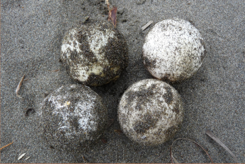 Decoy sea turtle eggs vs. real sea turtle eggs