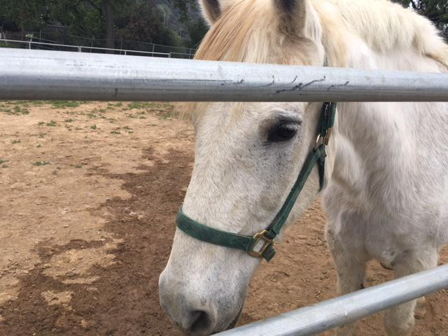 The horse is in his early 20's, and loves people, but doesn't get along well with other horses.  Humane Society officials say he needs his own pasture