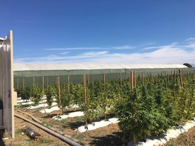 Illegal marijuana plants found during sweep
