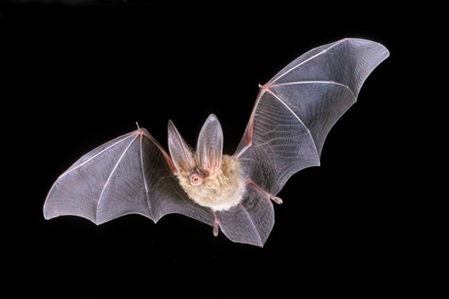 The bat population on one of the Channel Islands is the focus of a new research study by a Cal State Channel Islands team