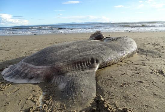 Huge, odd fish washes up on California beach