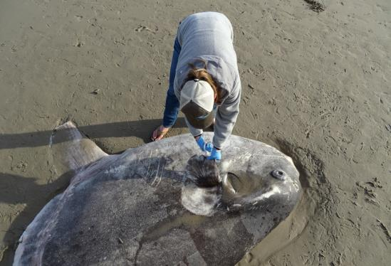 Rare Sunfish Washes Up on Coal Oil Point