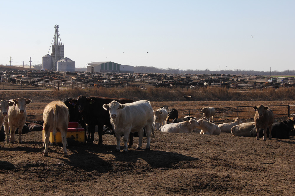 feedlots Intensive beef farming is the latest farming practice to be called into question by animal welfare activists most of new zealand's beef herd is entirely grass-fed, but there are some feedlots.