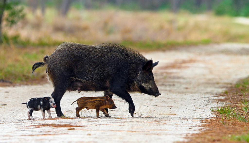 hog hunting in florida with State Feral Hogs Missouri on 173969 Hogzilla 2 0 A in addition Australian Women Hunters Deal Wild Hogs Pics likewise Always check for snake dens before climbing your furthermore Cow jumping over herding dogs moreover What To Do In Encounter With Wild Boar.