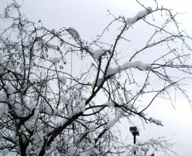Snow heavy enough to do this to  a Kansas City apple tree was magnified thousands of times on store roof before evacuation.