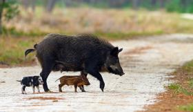 A feral hog and her piglets cross a dusty path.