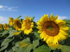 Sunflowers on a USDA research plot in Weld County, Colo.