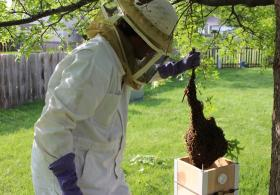 Jarrett Mellenbruch places the tree branch, with a swarm of bees, into a box.