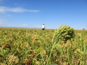 Millet, long an ingredient in birdfeed, could be the next food to capitalize on the heritage grain trend.
