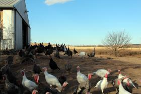 Heritage turkeys roam freely at Good Shepherds Poultry Ranch in Lindsborg, Kansas.
